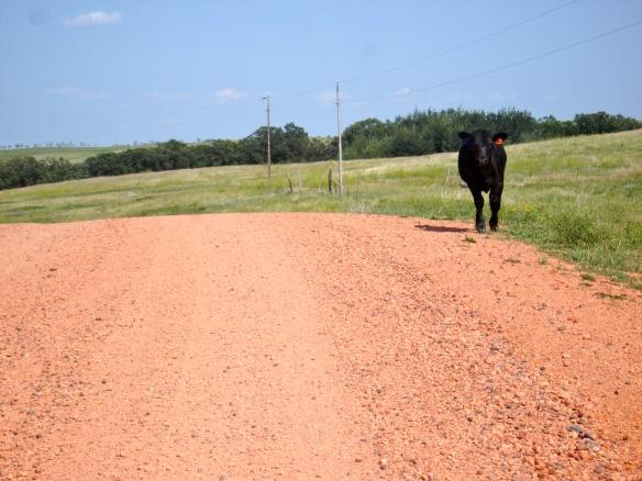 Calf on Road