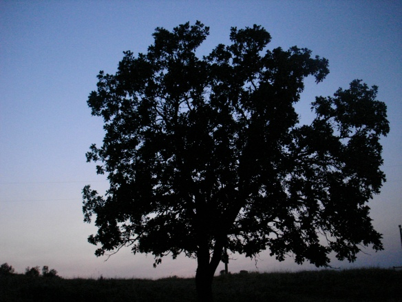 Oak tree evening