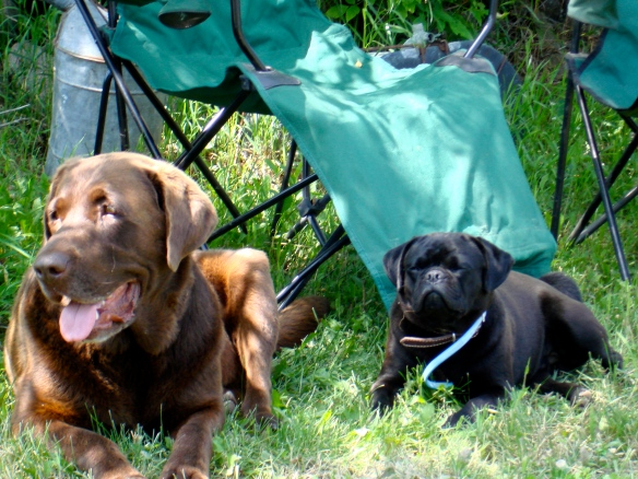 Pug and Lab in the lawn