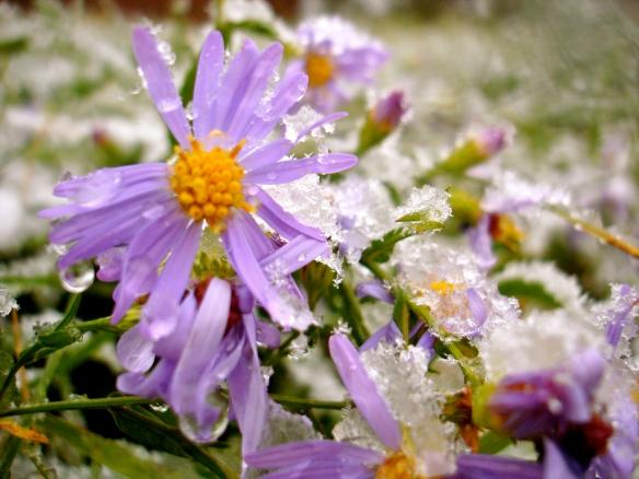 Purple flowers in snow