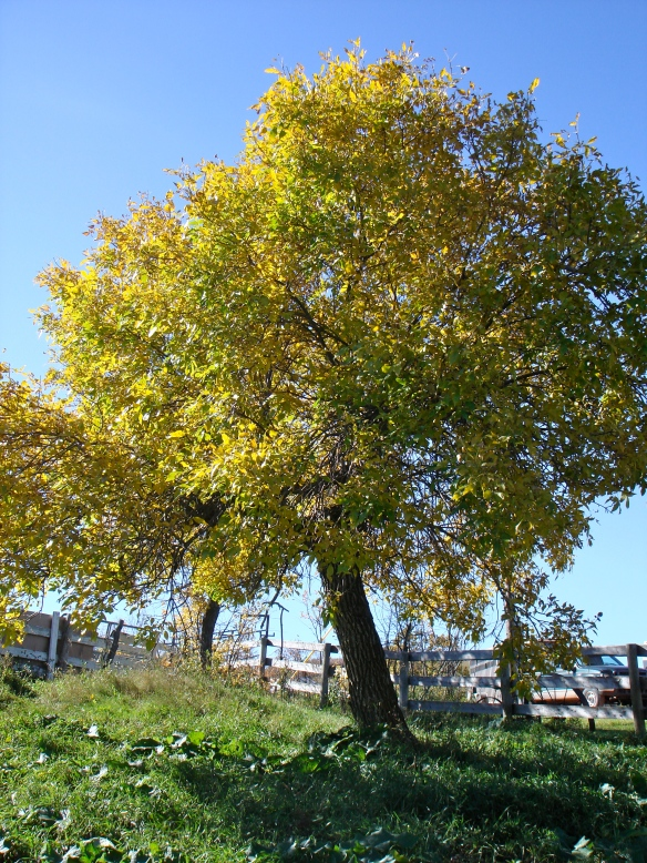 October 2, 2010. Tree in Barnyard