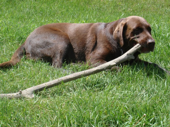 Lab with stick