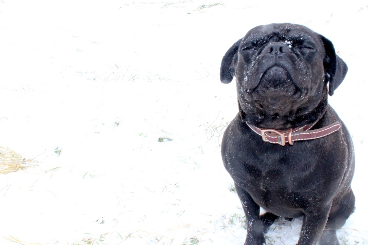 Pug in snow