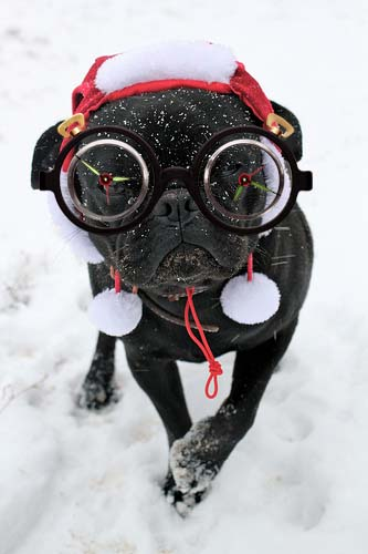Pug in glasses