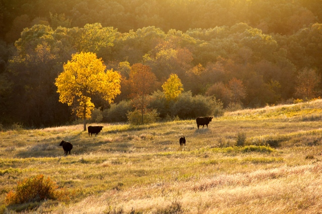 September 24, 2014. Cows in Autumn